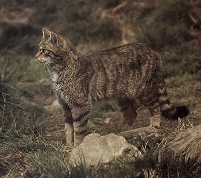 Il Gatto Selvatico Rarissimi I Segni Della Sua Presenza Cè Ma Non
