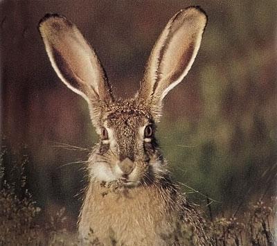 La lepre un coniglio con le orecchie lunghe for Lepre immagini da stampare